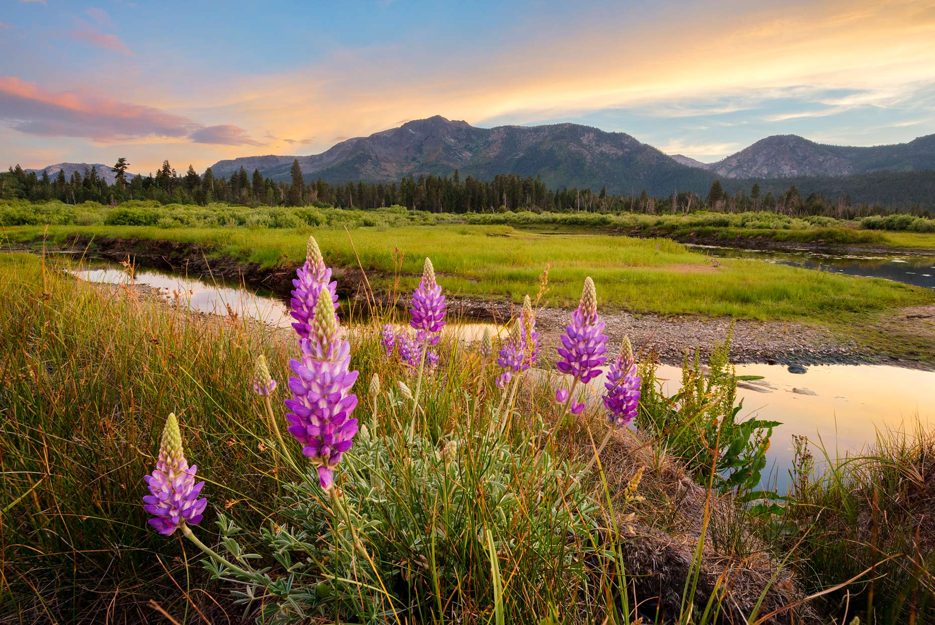 Lupine Wildflower Sunset - South Lake Tahoe, California