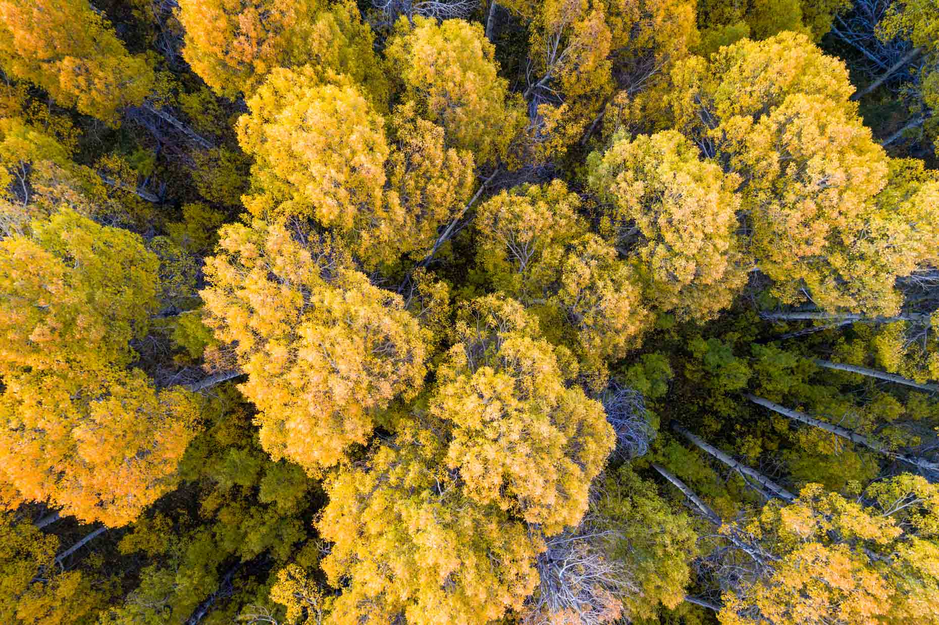 Drone - Fall Aspens, Hope Valley, California