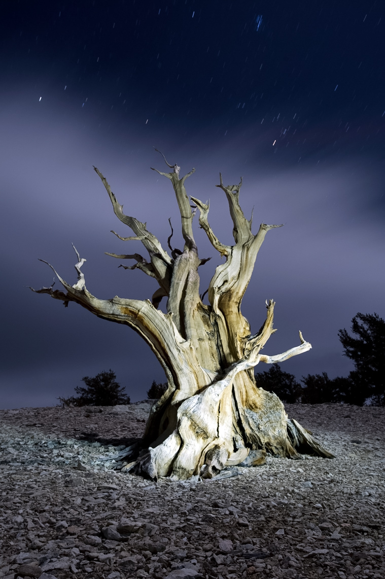 Bristlecone Pine Illuminated At Night - White Mountains, California